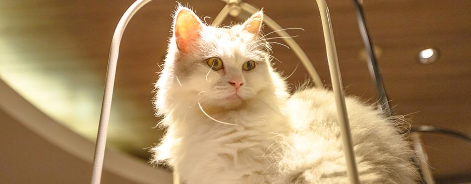 Purebred Angora cat