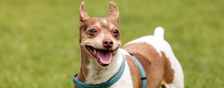 Rat terrier dog mix