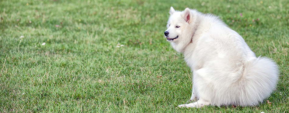 Samoyed dog pooping at grass field in the park