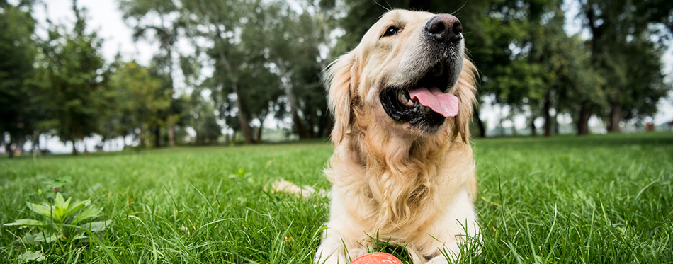 Selective focus of cute golden retriever dog lying with rubber ball on green lawn