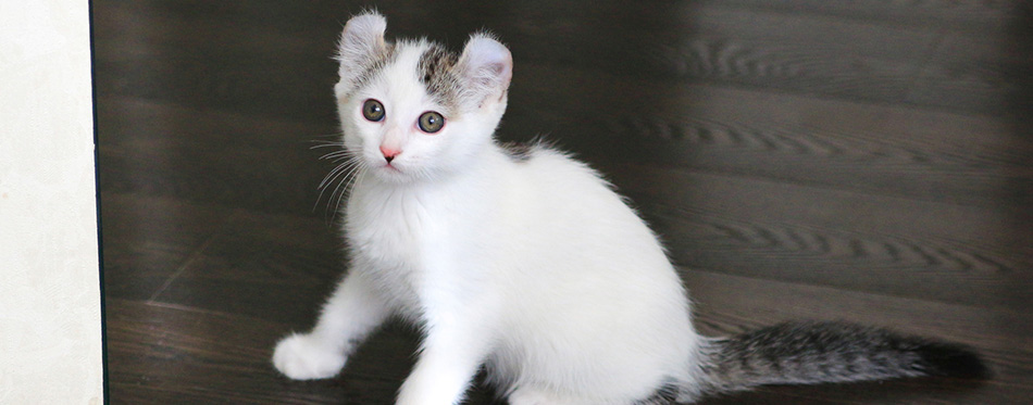 Shorthair American Curl kitten is sitting on the floor