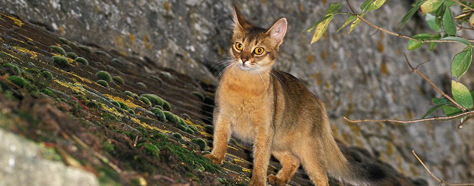 Somali Domestic Cat on Roof