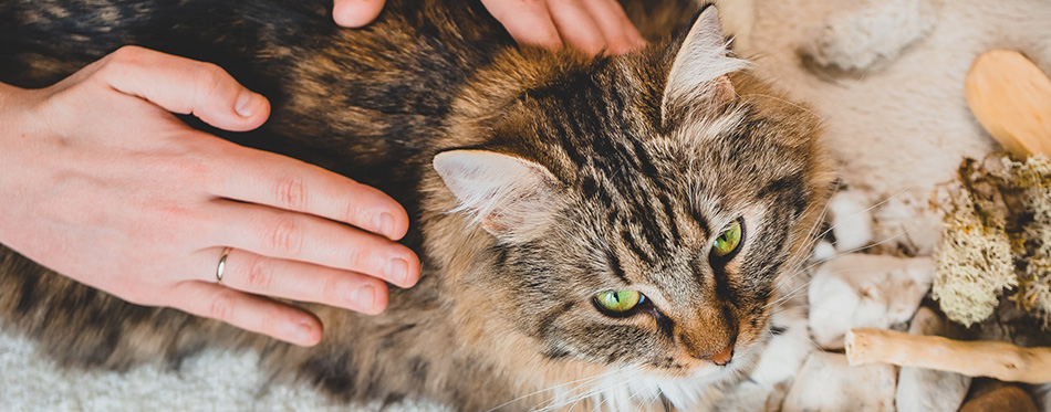 Stroking the back of a tabby cat with the palms of your hands. Massage technique