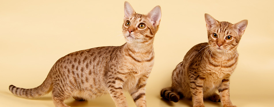 Studio photography of an Ocicat spotted cat on colored backgrounds
