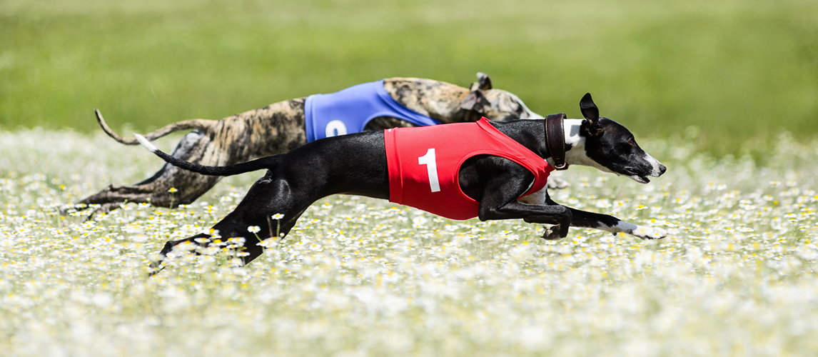 Two Greyhounds lure coursing competition in a beautiful chamomil — Stock Image