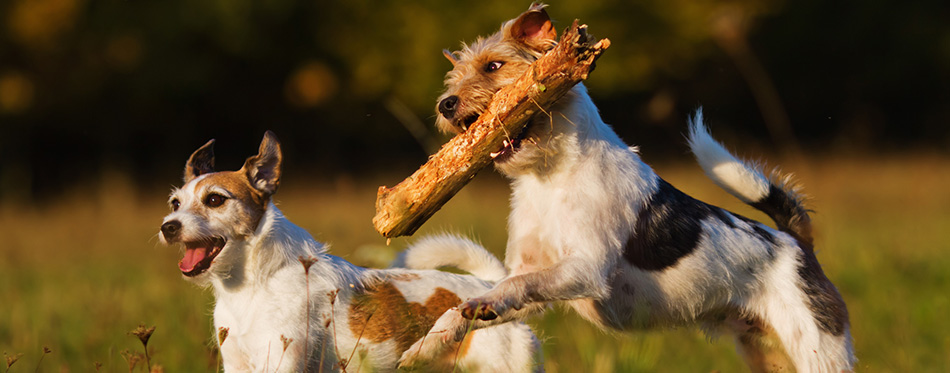 Two Parson Russell Terrier in Action