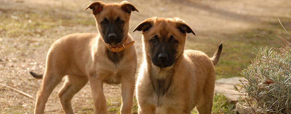 Two puppies malinois