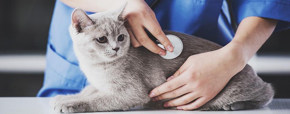 Vet examines the cat