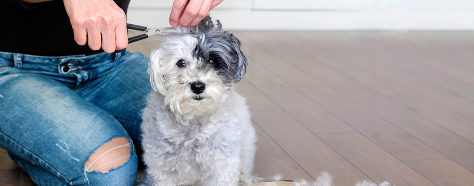 Woman Hand Grooming White Havanese Dog at Home