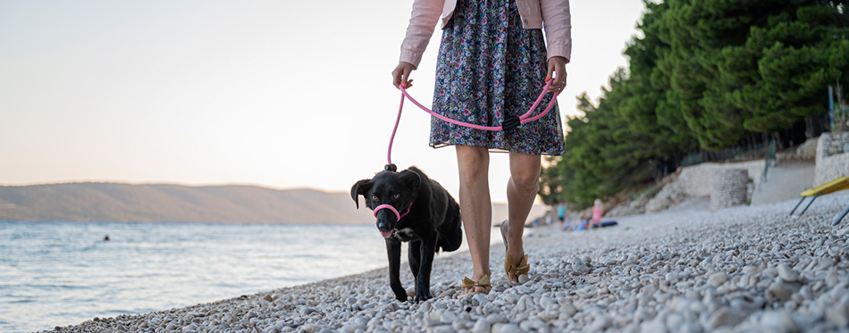 Woman training her three legged dog with a halti leash as they walk along the pebble beach.