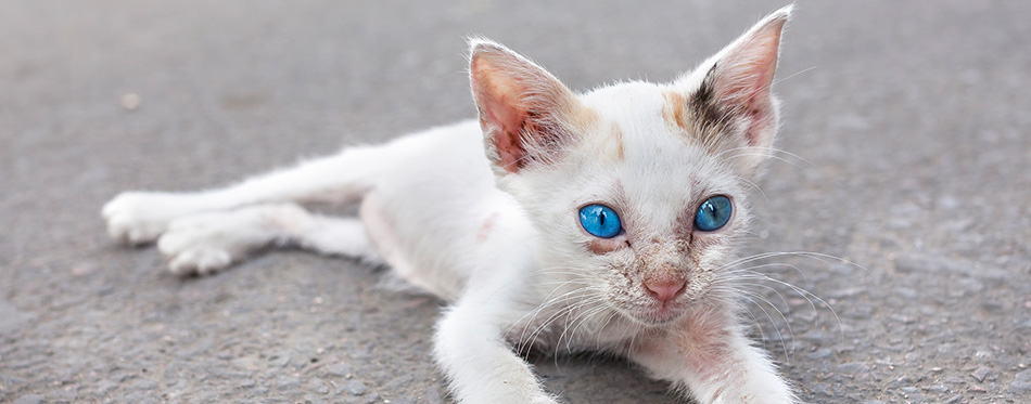 Young white cat with blue eyes on the street.
