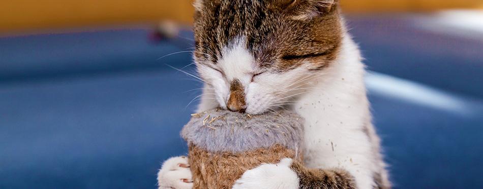 Cat and Nepeta cataria