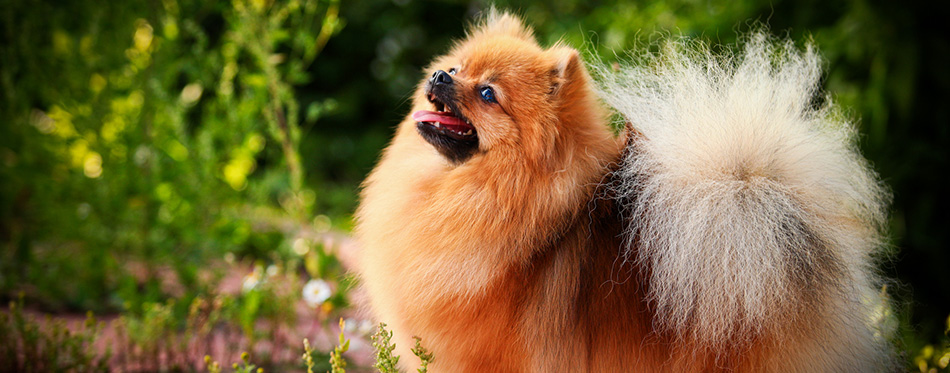 German Spitz, Dog breed Pomeranian