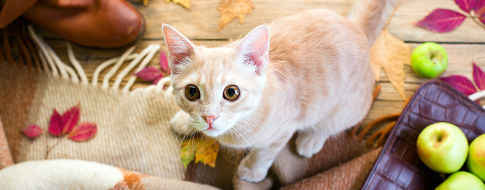 Kitten redhead, sitting on a wooden floor, wool plaid, bag and red shoes, autumn leaves, apples, cat, pet, concept