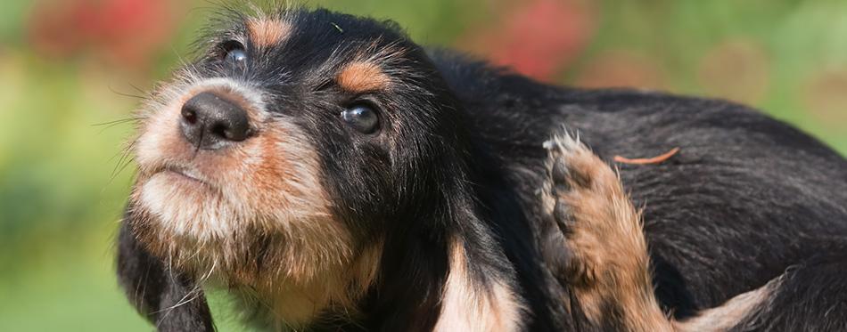 Otterhound puppy scratches himself behind the ear