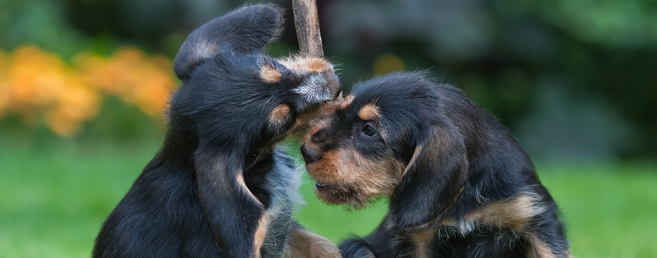 Two playing Otterhound puppies