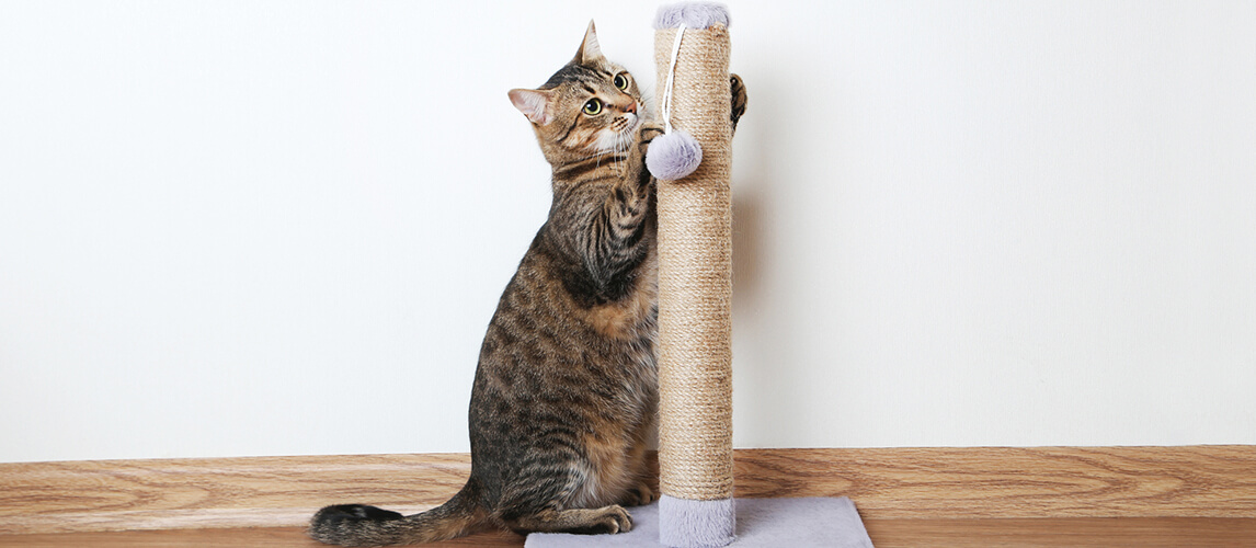 Cat with the scratching post