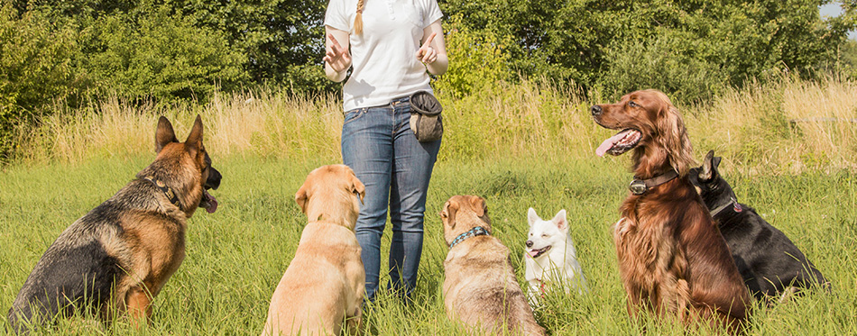 A group of dogs listen to the commands of the dog trainer
