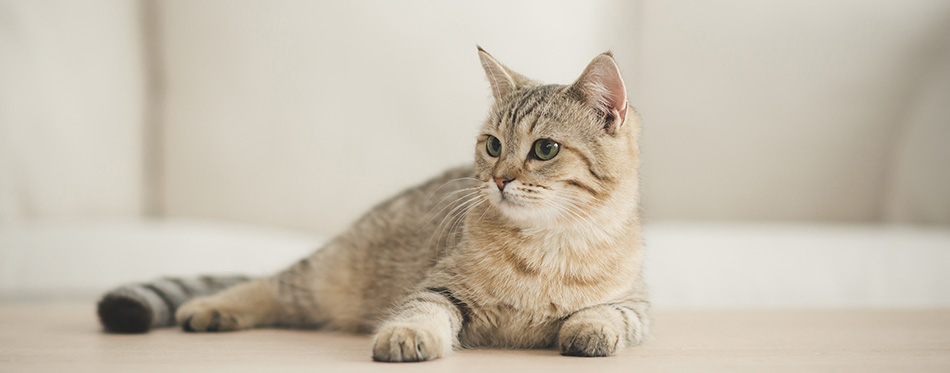 Cute cat lying on wooden table in living room