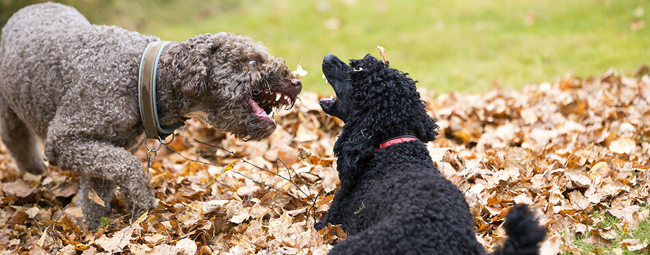 Two dogs are fighting outdoor.