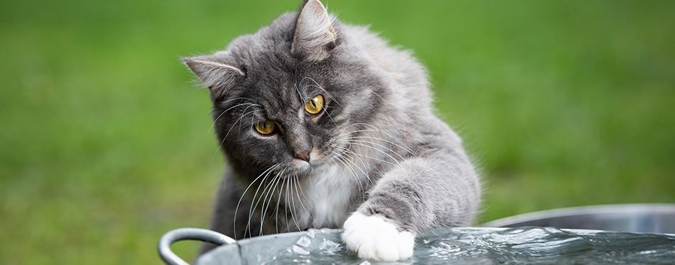 front view of a curious blue tabby maine coon cat playing with water in metal bowl outdoors on grass touching water with paw looking at it