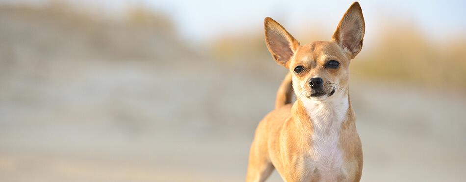 A chihuahua dog on the beach at sundown