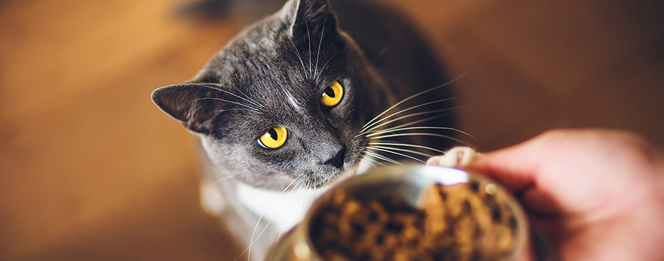 A cute grey domestic hungry cat with yellow eyes ask for dry food, which is in a bowl in the person's hand.