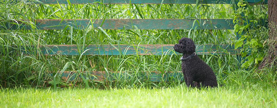 A little miniature poodle watching over his yard in the summer with his invisible fencing collar on with room for text.