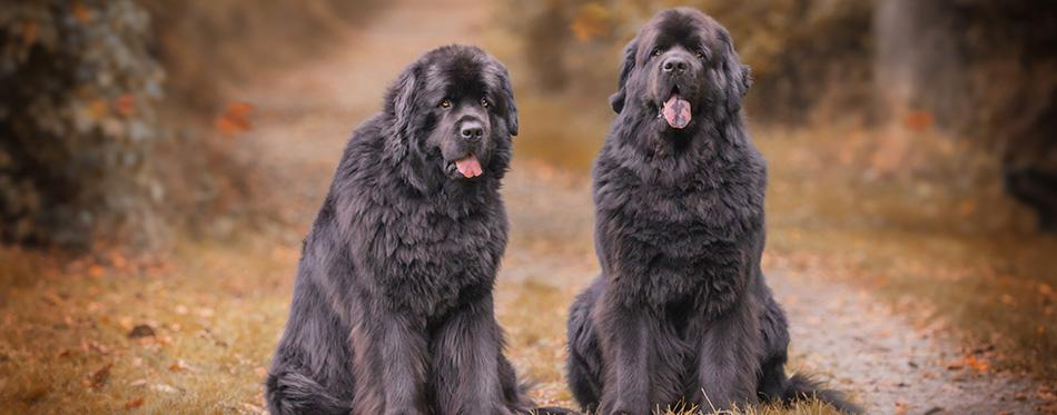 Amazing newfoundland dogs in autumn