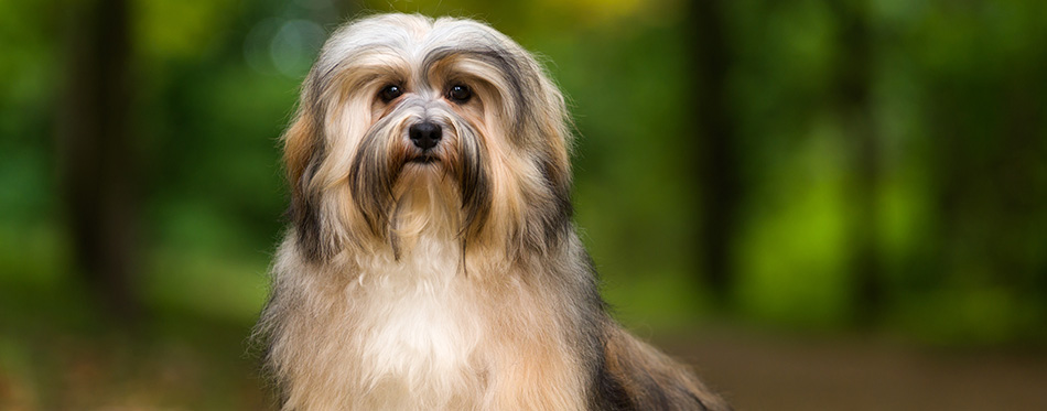 Beautiful young havanese dog is sitting on a gravel forest road in soft light in late summer