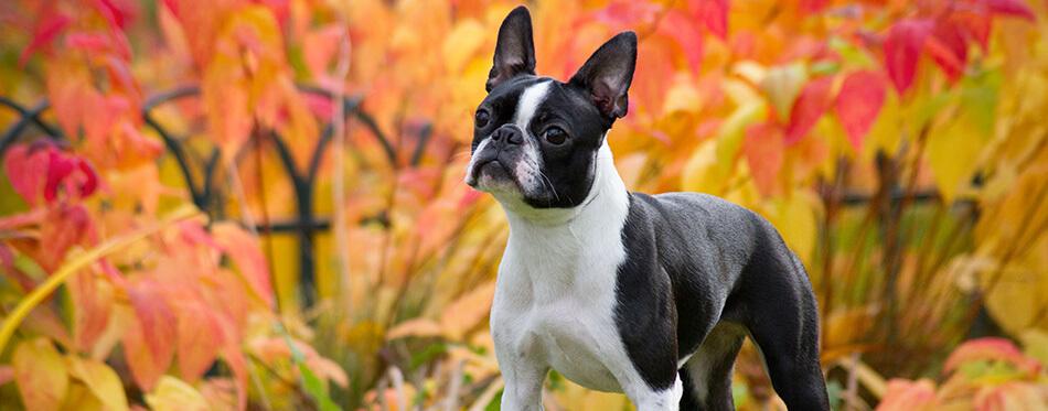 Boston terrier dog female outside.