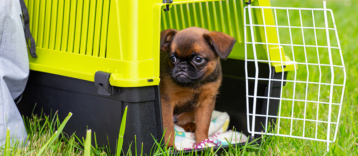 Brown cute Brussels Griffon puppy sitting in a plastic dog carrier outdoors.