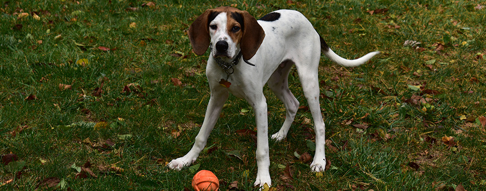 Coonhound in field with ball