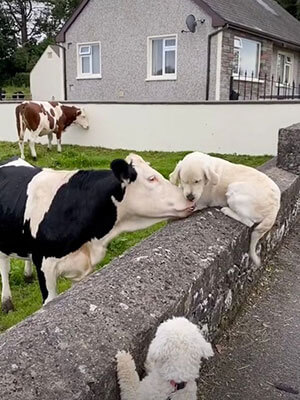 Cow and Pup