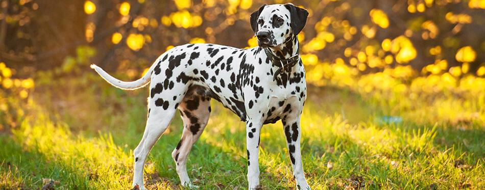 Dalmatian dog at sunset
