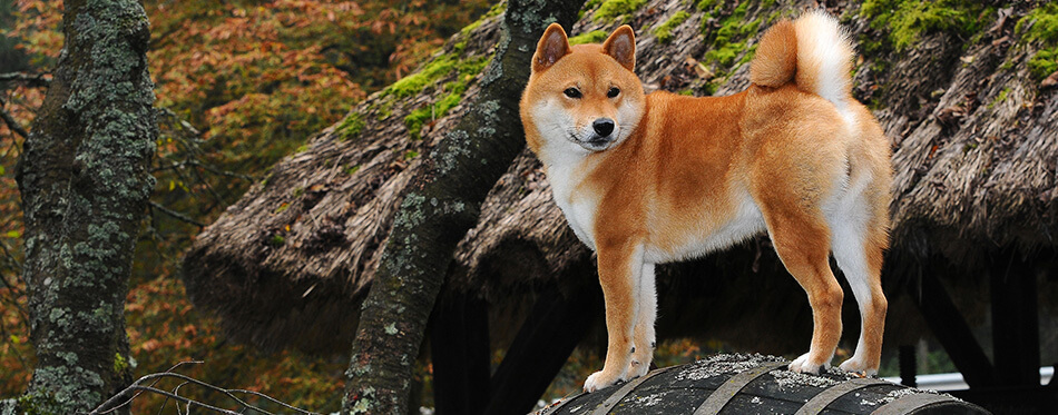 Dog breed red Shiba.