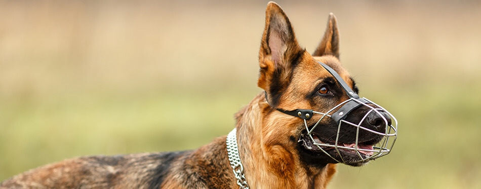 German Shepherd for a walk. The dog is muzzled.