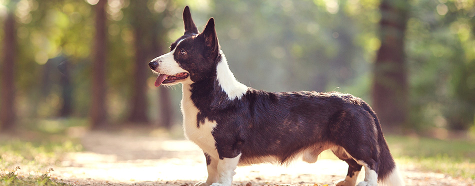 One dog with long body and short legs of welsh corgi cardigan breed with black and white coat outdoors on summer sunny day