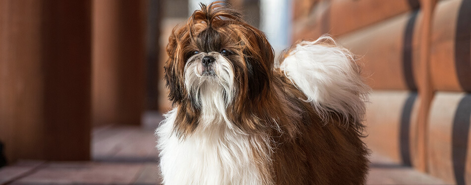 Shih Tzu dog with long groomed hair, outdoor portrait of 9 month old puppy