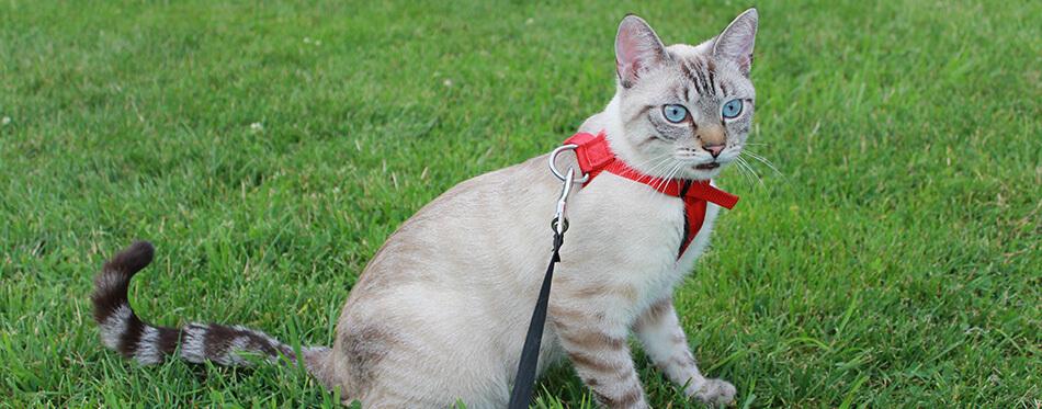 Chat siamois surpris en laisse assis sur l'herbe