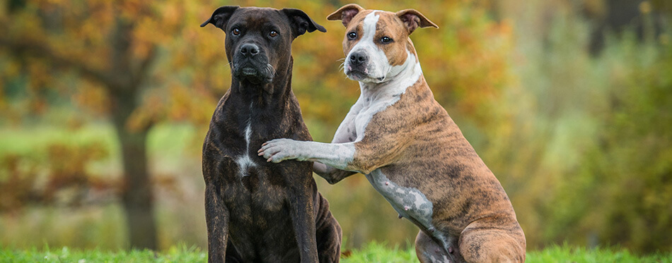 Two funny american staffordshire terrier dogs in autumn