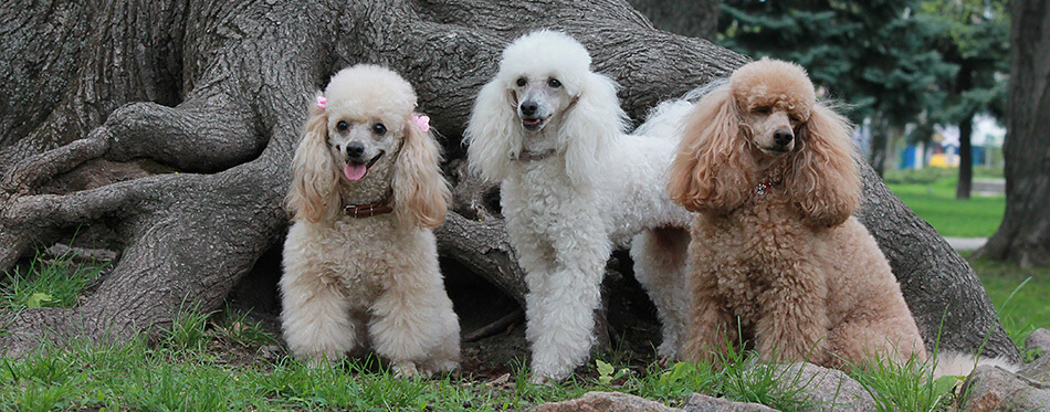 White poodle, poodle beige, brown poodle on a background of an old tree