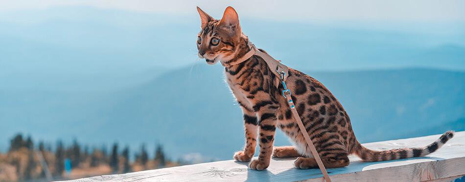 Jeune chat bengal en laisse sur fond de montagnes