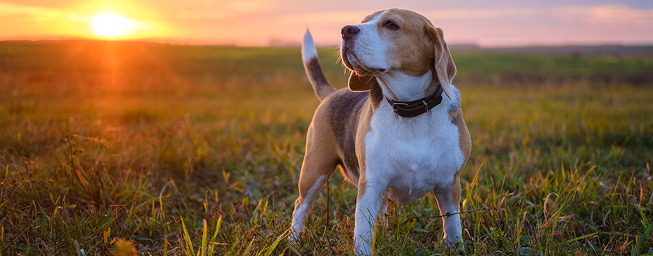 dog breed Beagle on a walk on the background of a beautiful sunset