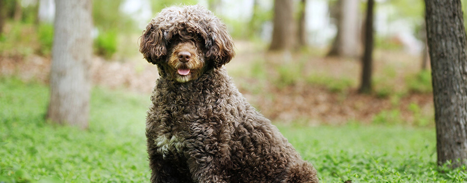 portuguese water dog stands majestically in the ivy covering his yard