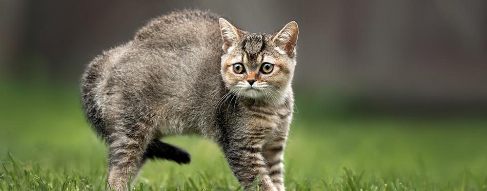 scared little british shorthair kitten outdoors in summer