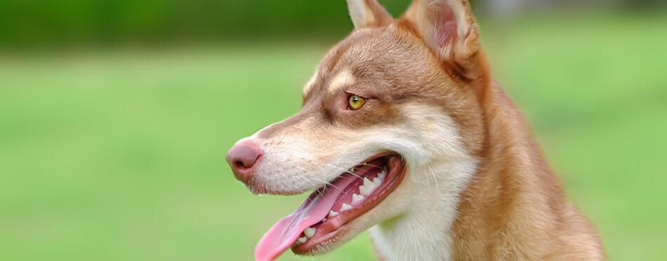 A mixed siberian husky and corgi dog.