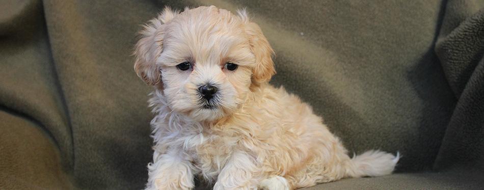 Adorable Tiny Cream Shih-poo Puppy