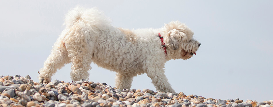 Adorable dog which is a mix between shih tzu and bichon frise on the beach