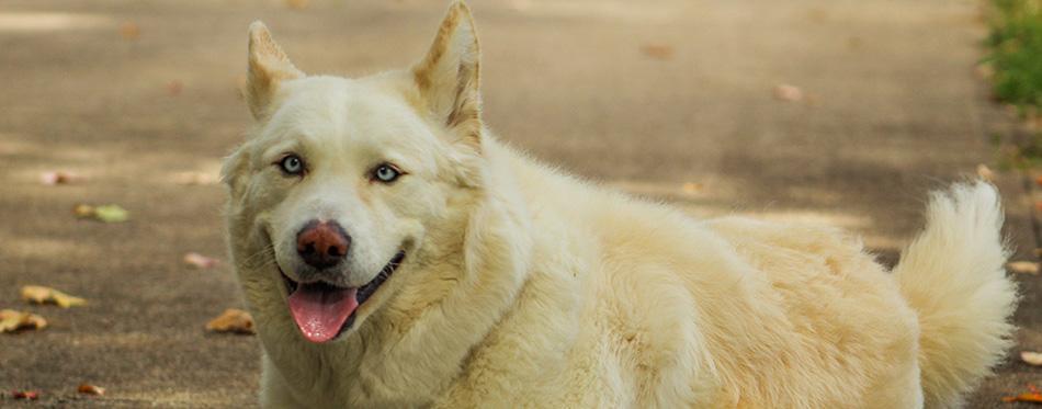 Akita Husky Mix posing in driveway. Happy female dog.